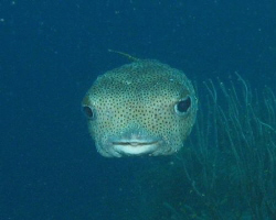 Porcupine fish en face in Curacau. by Jon Doud 
